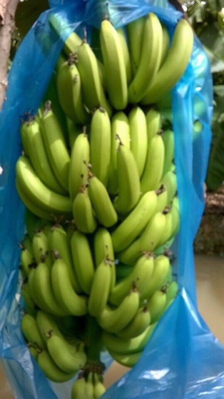 cavendish_banana