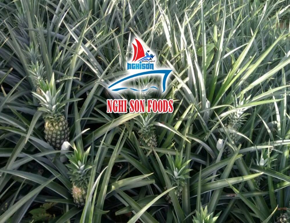 queen_pineapple_competitive_price_form_vietnam