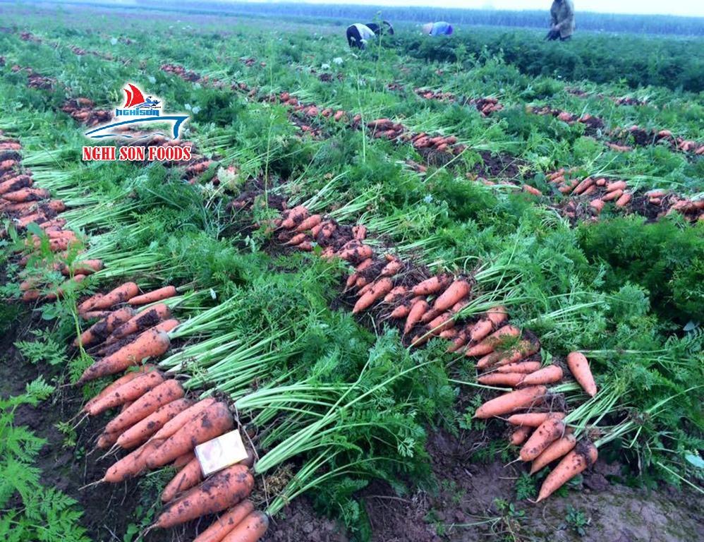 fresh_carrot_from_vietnam