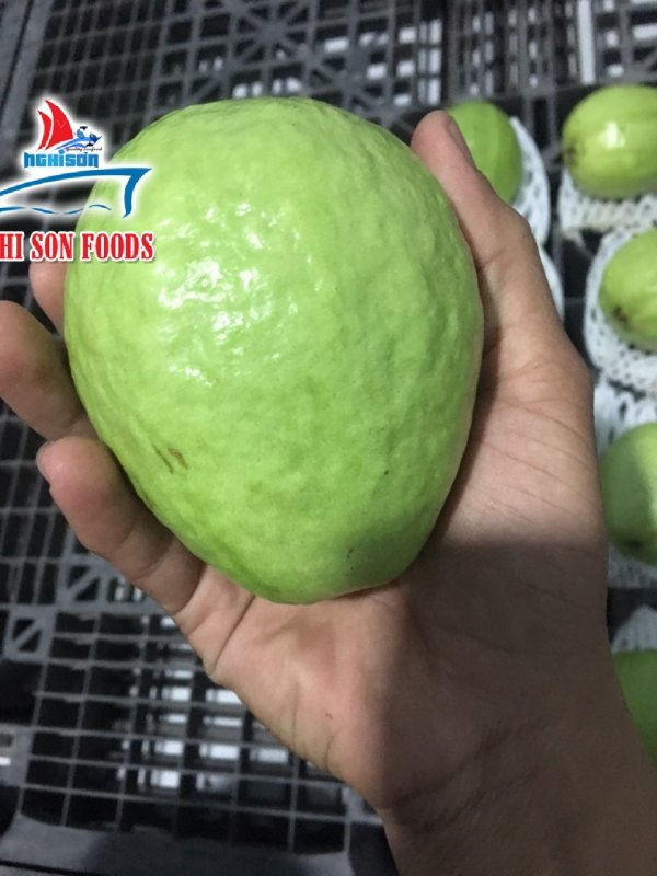 fresh_guava_from_vietnam_good_quality