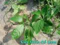 Gynostemma pentaphyllum (Thunb.) Makino (Giảo cổ lam)