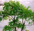 Polyscias fruticosa Harms (Đinh lăng)