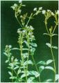 Stevia rebaudiana (Bert.) Hemsl (Cỏ ngọt)