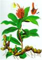 Costus speciosus (Koenig) Sm. (mía dò)