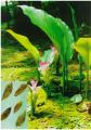 Curcuma aromatica Salisb., (Nghệ trắng)