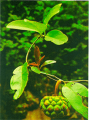 Kadsura coccinea (Na rừng)