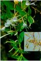 Lonicera japonica Thunb. (Kim ngân)