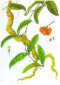 Morinda officinalis How (Cũ ba kích)