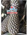 Fresh Queen Pineapple in Vietnam High Quality
