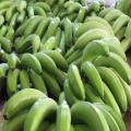 Najlepsza cena świeżych bananów