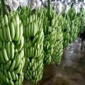 Sprzedaż hurtowa wysokiej jakości bananów w rozsądnej cenie w Wietnamie