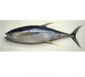 Cá ngừ nguyên con