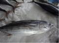 Cá ngừ sọc dưa