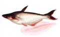 Basa Fillet Pangasius
