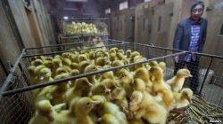 Trung Quốc điều tra dòng virut cúm gia cầm mới gây chết người
