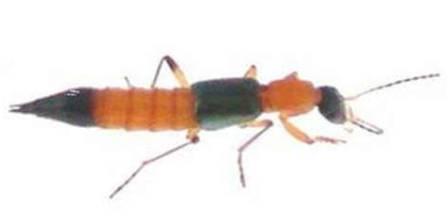 Đặt hàng Loài kiến cực kỳ độc hại